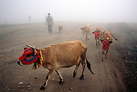 Cows in masks signal the migration and a ceremony. Farmers put masks on their cows as they travel from one Yayla home to another.<br /> Turkeys Black Sea coast has the highest peaks close to a sea anywhere in the world. The migration from summer fishing to highland shepherding has always been a part of the culture.  Mountain homes are called Yaylas (YIY-luz), and most families have more than one. <br />  <br /> Families fish at the coast, but as the temperatures rise, they move to a succession of homes higher in the mountain range.  These homes are community property and were bequeathed during the Ottoman period. <br /> <br /> Evidence shows that after the ice age, the Bosporus channel was the last to give way to the rising ocean and the Black Sea was the last to fill.  When the water flooded in, Neolithic people ran as much as two miles a day for over a year.  Today's residents are desendants of the people who ran away from the great flood. This bit of history burns in our collective memory still as Noahs flood or the flood from the epic of Gilgamesh.