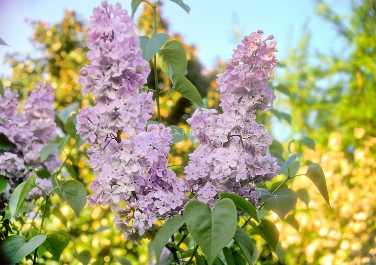 Syringa x hyacinthiflora 'Esther Staley&rsquo; pink spring flowers