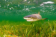 lemon shark, Negaprion brevirostris, in seagrass bed, Little Card Sound, Biscayne Bay, Key Largo, Florida Keys National Marine Sanctuary, Florida, USA, Caribbean Sea, Atlantic Ocean