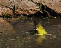 Little Yellow Warbler enjoying a morning bath.