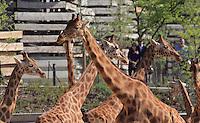 Girafe de l'Ouest (Girafa camelopardalis antiquorum), public au loin, Zone Sahel-Soudan, new Parc Zoologique de Paris, or Zoo de Vincennes, (Zoological Gardens of Paris, also known as Vincennes Zoo), Museum National d'Histoire Naturelle (National Museum of Natural History), 12th arrondissement, Paris, France. Picture by Manuel Cohen