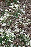 Exochorda x macrantha 'The Bride' in early spring bloom