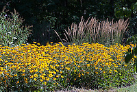 Using easy masses of plants for lots of impact: Native wildflowers Rudbeckia Goldsturm Black eyed Susans in bloom and Ornamental grass Calamagrostis acutiflora Karl Foerster - Feather Reed Grass, prairie style landscaping garden border
