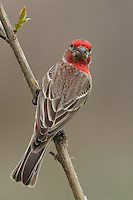 House Finches are small-bodied finches with fairly large beaks and somewhat long, flat heads. The wings are short, making the tail seem long by comparison.