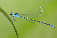 Stream Bluet (Enallagma exsulans) Damselfly - Male, Wallkill River NWR, Sussex, Sussex County, New Jersey