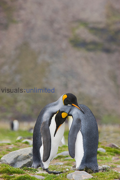 A mated pair of King Penguins (Aptenodytes patagonicus) exhibiting in pair bonding display, St Andrews Bay, South Georgia.