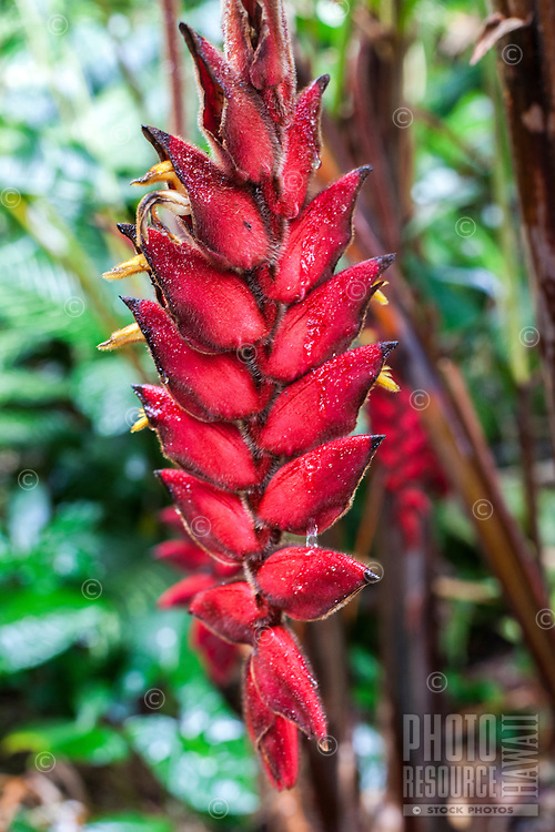 Fuzzy red heliconia at the Harold L. Lyon Arboretum and Botanical Garden, Honolulu, O'ahu.