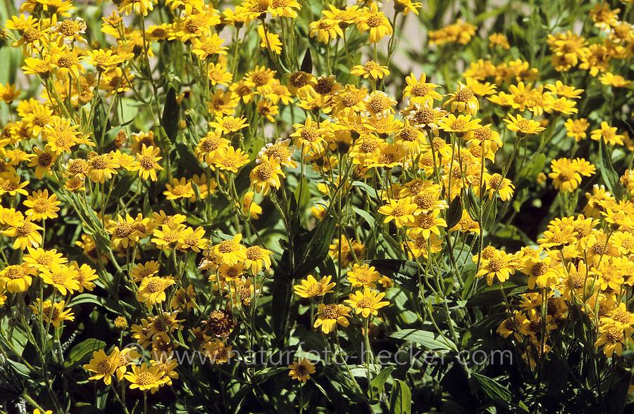 Nordamerikanische Arnika, Leafy Leopardsbane, Amerikanischer Wohlverleih, Nordamerikanische Wiesenarnika, Arnica chamissonis