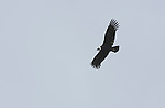 Andean condor, Vultur gryphus, at Antisana Ecological Reserve, Ecuador. Listed as Near Threatened on the IUCN Red List.