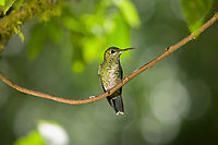 Hummingbird, Costa Rica, Central America