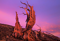 730252036 an ancient bristlecone pine pinus longeava clings to a rocky hillside in sunset light in the white mountains of central california