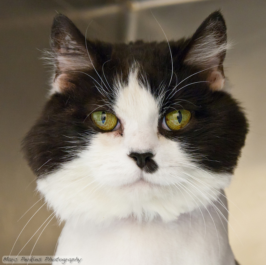 Domestic Longhair Cat Black And White