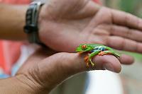 Guady tree frog, Tortuguero, Costa Rica, Central America.