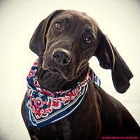 Beautiful black labrador retriever and Great Dane mix up for adoption at the Front Street Animal Shelter in Sacramento, CA.