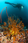 A diver looks on a group of crinoids, Raja Ampat, West Papua, Indonesia