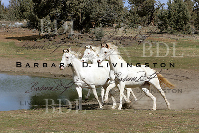 White Thoroughbred mares Articanna, Silverlite JC, and Rubiana Lace