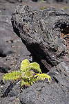 Hawai'i Volcanoes National Park, Big Island of Hawaii, Hawaii; ferns growing out of the volcnanic rock along the Chain of Craters Road