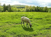 Sheep Grazing in Meadow, New Hampshire, USA