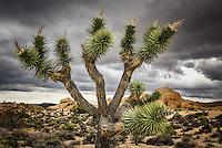 A close up of a Joshua Tree at California's Joshua Tree National Park