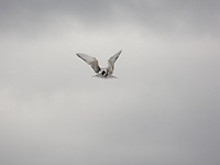 "Terns when fishing are poetry in motion, to use the well known phrase. This one I caught in it's ""hover"" waiting for a fish to surface on Ross Lake, Alberta."