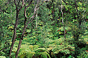 Native Hawaiian rainforest, primarily tree ferns and ohia-lehua trees; near Thurston Lava Tube, Hawaii Volcanoes National Park, island of Hawaii.