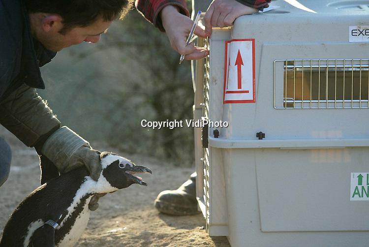 Foto: VidiPhoto..ARNHEM - Bibberende pinguins in Burgers Zoo. Om te voorkomen dat de ongeveer 70 Zuid-Afrikaanse pinguins in de Arnhemse dierentuin bevriezen of verdrinken onder het ijs, zijn ze dinsdagmiddag naar binnen gehaald. De dieren moesten met de hand gevangen worden. Hoewel de Zuid-Afrikaanse pinguins goed tegen de kou kunnen, is deze vorstperiode wat te veel van het goede. In het gebied waar ze vandaan komen blijft het water namelijk ijsvrij.