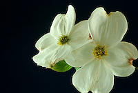 Two delicate dogwood blossoms from Conus florida tree