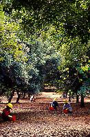 Workers hand harvesting macadamia nuts, Mauna Loa Macadamia Nut Corporation, Hilo