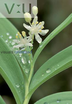 False Solomon's Seal ,Smilacina racemosa,, North America.
