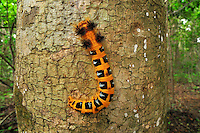 .Moth caterpillar (Borocera), Lasiocampidae, on a tree trunk, Ankarana National Park, Northern Madagascar
