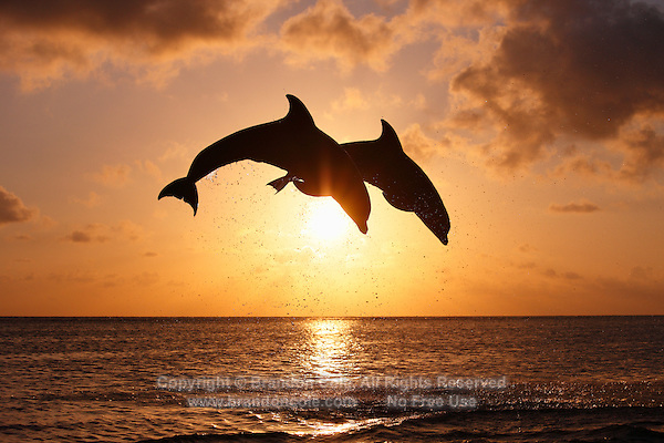 Bottlenose Dolphins At Sunset Www Imgkid Com The Image Kid Has It