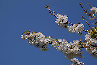 Alberi di ciliegio in fiore. Cherry trees in bloom....