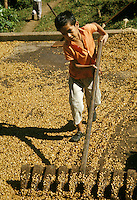 Mexico, Puebla State, Cuetzalan, Latin America, boy spreading coffee beans to dry in the sun.