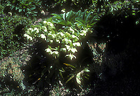 Helleborus orientalis Artuin E Turkey growing in rock