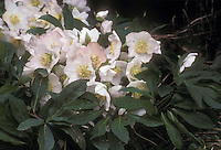 Helleborus niger showing flowers and foliage