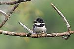 Pied puffbird, Tiputini