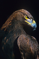 521090049 portrait of a falconers golden eagle aquila chrysaetos a captive bird used in hunting photographed in colorado