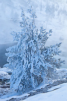 Frosted ghost tree during winter in Yellowstone National Park