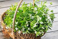 Waldmeister, Waldmeister-Ernte, ernten, sammeln, Wald-Meister, Galium odoratum, Sweet Woodruff, Aspérule odorante