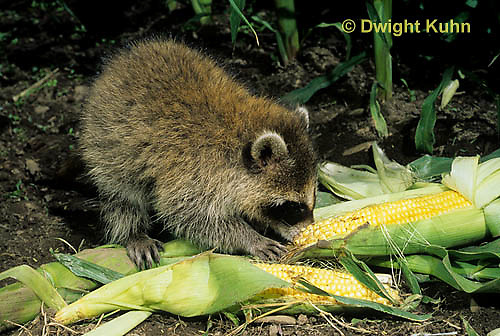 MA25-275z   Raccoon - young animal exploring, finding food (corn) in garden - Procyon lotor