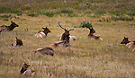 A large bull elk lies down among his harem of cows, Yellowstone National Park, Wyoming, USA, October 4, 2007.  Photo by Gus Curtis