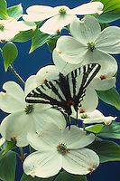 Zebra Swalowtail, Eurytides marcellus, on dogwood blossoms (Conus florida)