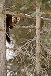 A Pine Marten clings to a tree branch in Jasper National Park, Alberta Canada.