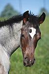 20100623Quarter Horse Foals