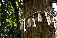 Shinto holy tree decorated by shimenawa ropes, Takao, Japan