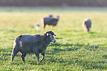Merino Sheep walking in green grazing lands, Agulhas Plain, Overberg, Western Cape, South Africa