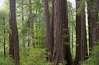Redwoods, Big Basin State Park, CA.