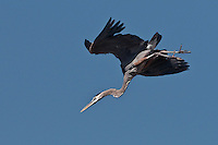 Diving Great Blue Heron