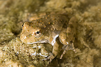 Northern Cricket Frog (Acris crepitans), Texas, USA