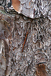 A walking stick is camoflaged to look like a stick.